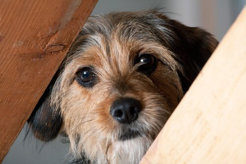 Empathie bei Hunden entwickelte sich in der Gemeinschaft.