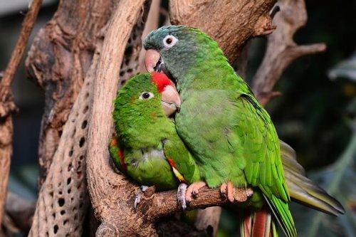 Das Geschlecht eines Vogels durch Verhalten erkennen.