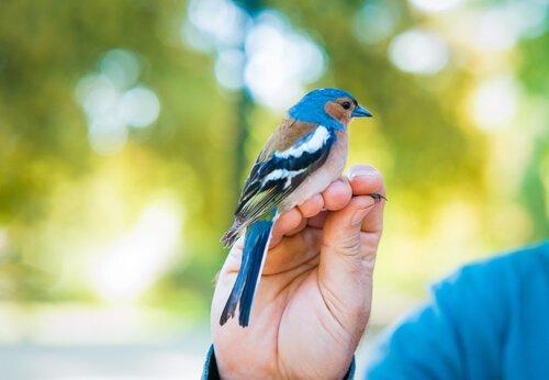 Das Geschlecht eines Vogels durch Labortest bestimmen.