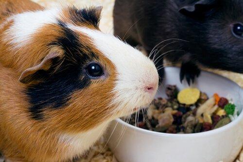 Gute Ernährung bei Meerschweinchen und was sie nicht essen dürfen