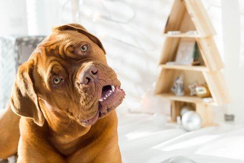 Hund lehnt Kopf zur Seite - Kopfpressen