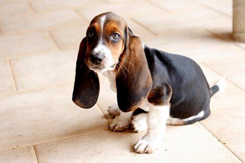 Hunderassen mit großen Ohren
