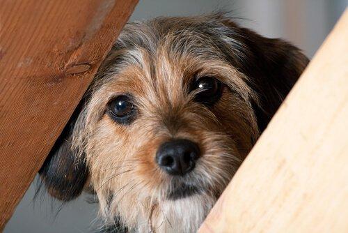 Hund schaut durch Treppen. Er leidet an Kopfpressen.