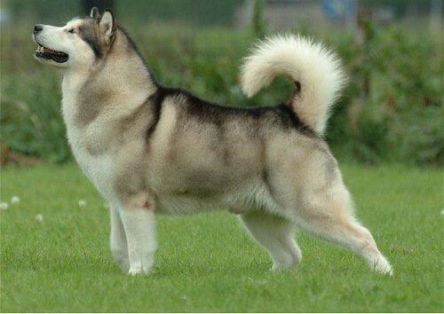 Wolfsähnliche Hunde und Züchtungen