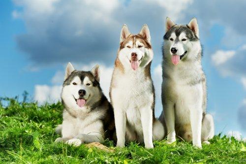 Huskys sind wolfsähnliche Hunde