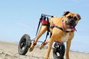 Hunde im Rollstuhl können trotz ihrer Behinderung toben.