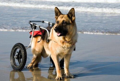 Hunde im Rollstuhl toben am Strand