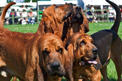 Hunde mit großen Ohren