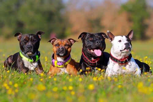 Verschiedene Hunderassen können sich problemlos untereinander wiedererkennen.