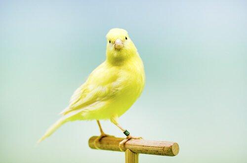 Kanarienvögel sind muntere Gesellen