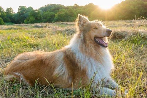 Lassie, einer der berühmtesten Hunde.