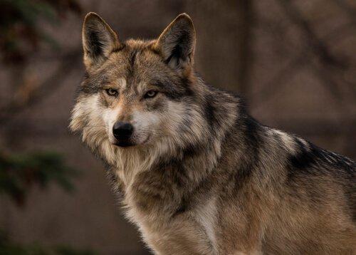 Mexikanicher grauer Wolf