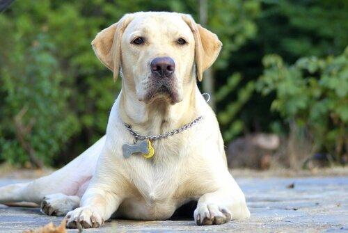Namen für große Hunde, wie Labradore