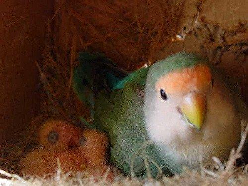 Nestender Vogel