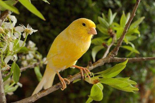 Pflegetipps für Kanarienvögel