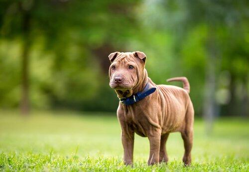 Der Shar Pei ist eine faltige Hunderasse