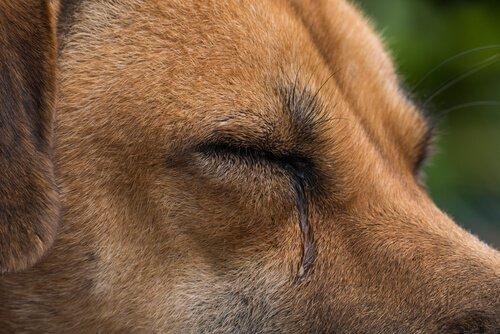 Tränen in den Augen des Hundes - woher kommt das?
