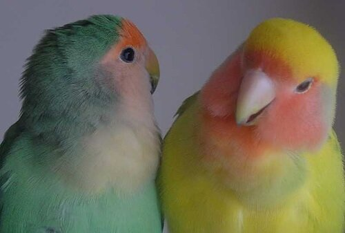 Vögel als Haustiere besser in Pärchen halten