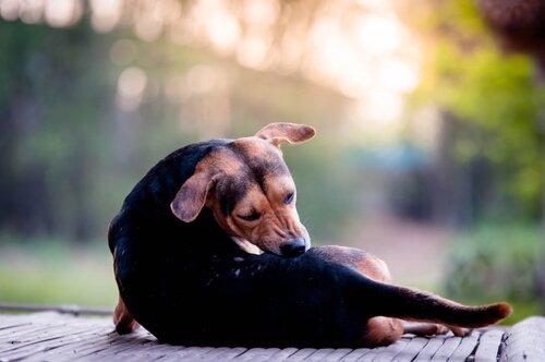 Räude bei Hunden - Diagnose und Behandlung
