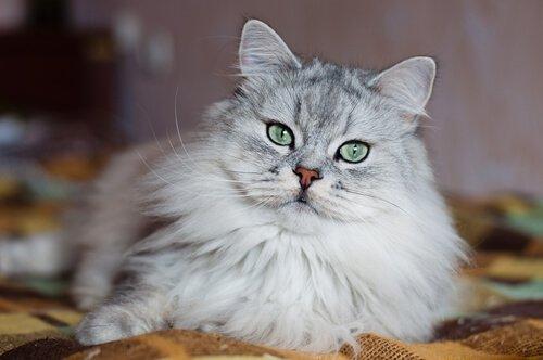 die teuersten Katzenrassen