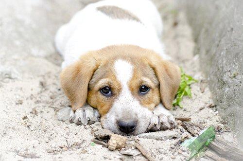 Planst du, einen Welpen zu adoptieren? Er ist kein Mensch!