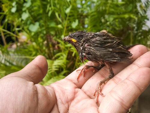 Wie man ein Vogelküken rettet und ernährt