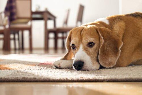 Wie lange kann ein Hund zu Hause allein bleiben?