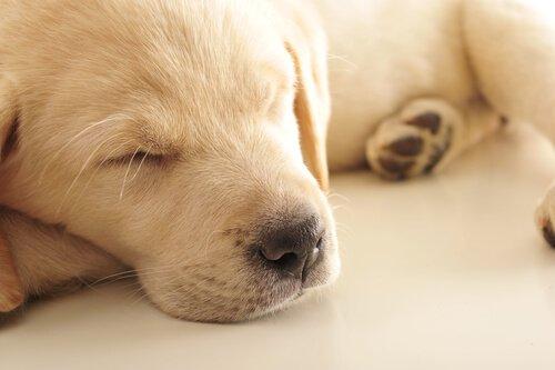Hunde träumen aber sind immer wachsam.