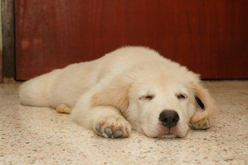 Wovon Hunde träumen und, sollte man sie aufwecken?