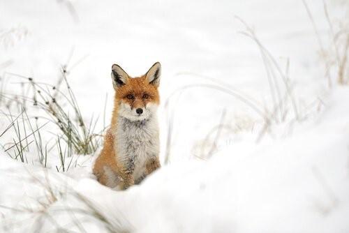 4 Fuchsrassen - Rotfuchs im Schnee