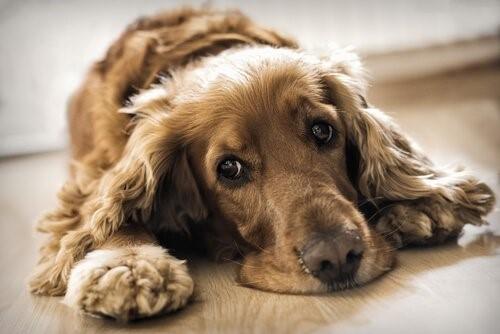 Aflatoxine - Hund liegt auf dem Boden