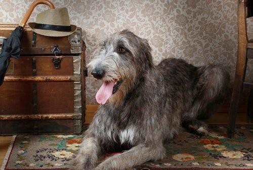 Der Irische Wolfshund, der Riese unter den Hunden