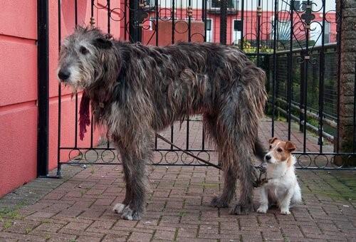 Der Irische Wolfshund - mit kleinem Hund