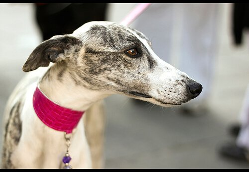 Der Spanische Windhund: eine Rasse mit Geschichte