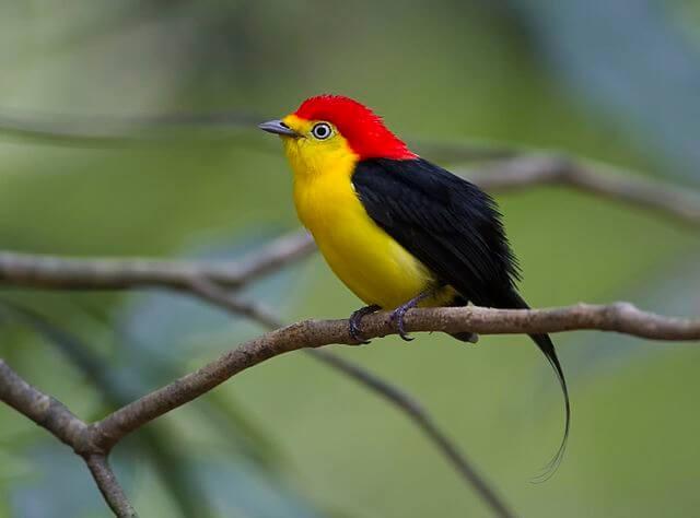 Die 6 beeindruckendsten Vögel - Fadenpipra