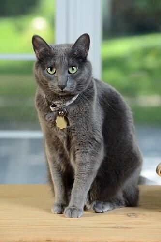 Die Korat Katze - sitzend