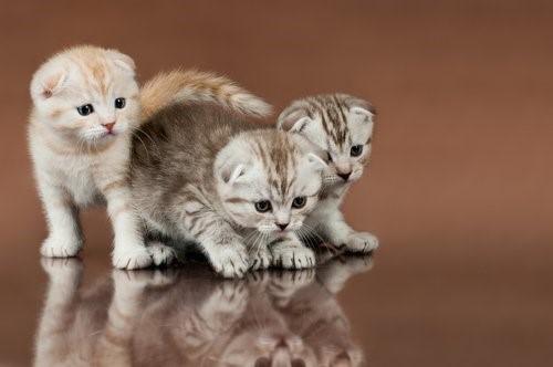 Die exotischsten Katzenrassen - Schottische Faltohrkatze