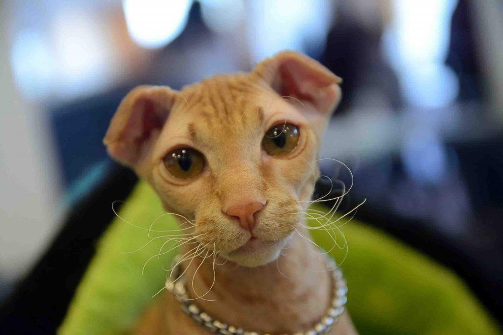 Die ukrainische Levkoy Katze