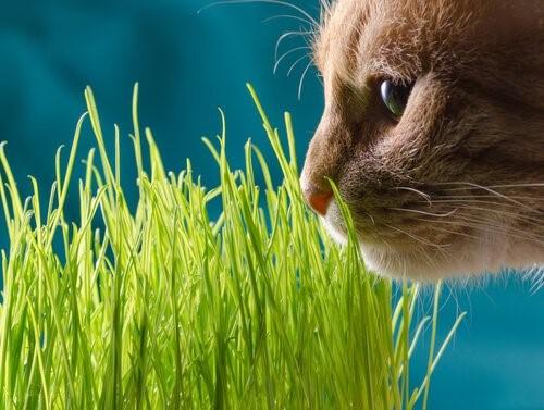 Echte Katzenminze - Katze schnüffelt an Gras