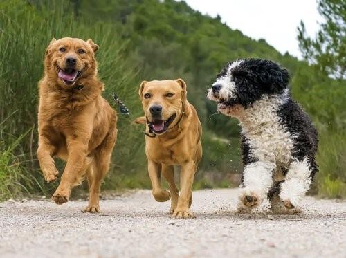 Eine läufige Hündin - Hunde rennen