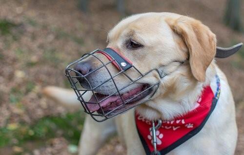 Wie bringst du deinem Hund bei einen Maulkorb zu tragen?