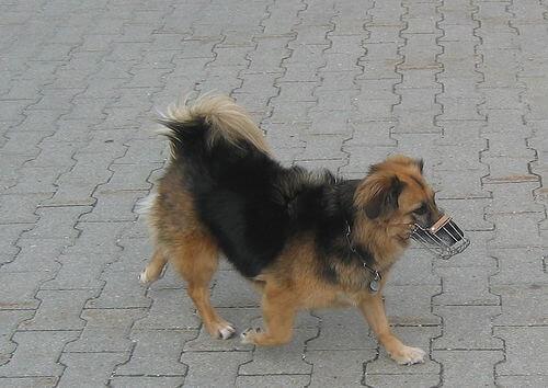 Einen Maulkorb tragen - kleiner Hund
