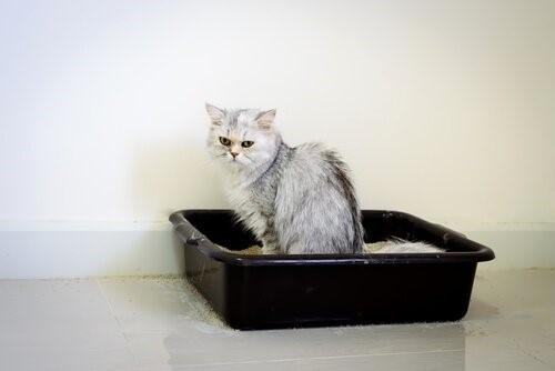 Harnwegserkrankungen bei Katzen - Katze sitzt im Katzenklo