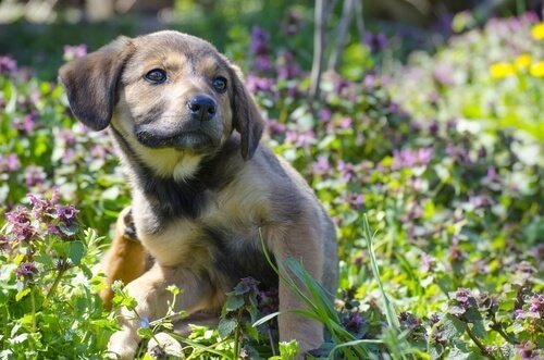 Hot Spots bei Hunden - Welpe kratzt sich