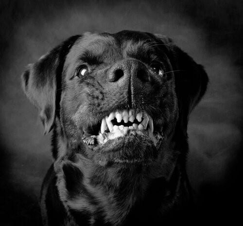 Aggressive Hunde: Instinkt oder Erziehung?