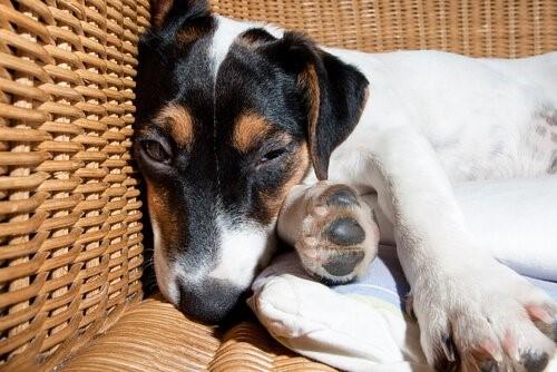 Meningitis bei Hunden - Schlafender Hund