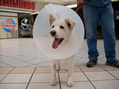 Myiasis bei Hunden - Hund mit Schutzkragen