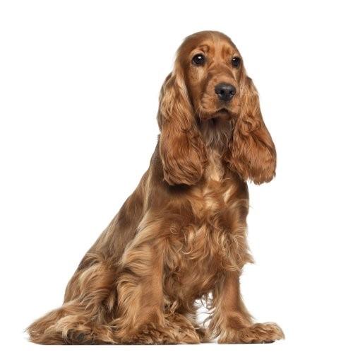 Otitis - Hund mit viel Fell