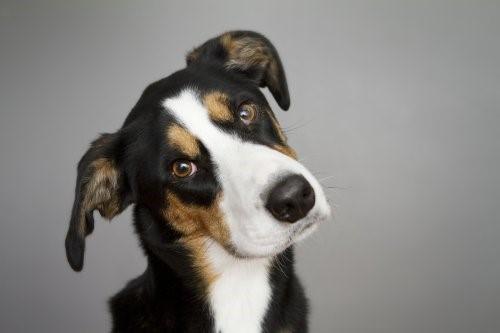 Otitis - Hund
