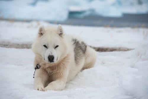 Schneehunde - Grönlandhund